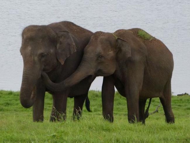 národní park Minneriya, Srí Lanka