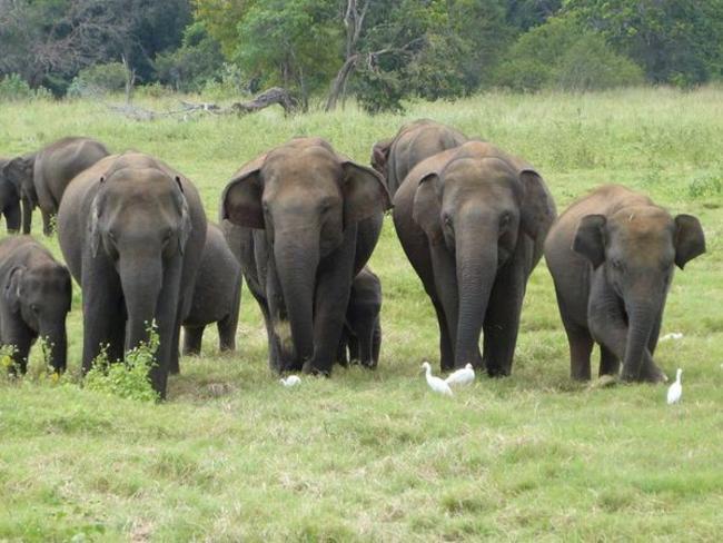 Srí Lanka - sloní safari