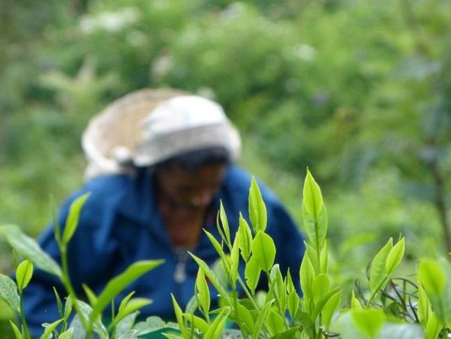 čaj Srí Lanka