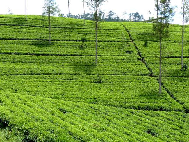 čajové plantáže Srí Lanka